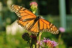 Monarkfjäril arkivfoton