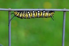 Monarkfjäril Caterpillar arkivbild