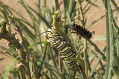 Monarkfjäril Caterpillar fotografering för bildbyråer