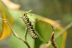 Monarkfjäril Caterpillar royaltyfria bilder