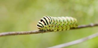 Monarkfjäril Caterpillar royaltyfria foton