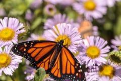 Monarkfjäril, Danausplexippus, i en fjärilsträdgård på a fotografering för bildbyråer
