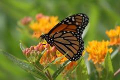 Monarkfjäril - fjärilsogräs Arkivfoto