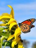 Monarkfjäril i gul solros på nedgångdag i Littleton, Massachusetts, Middlesex County, Förenta staterna New England nedgång royaltyfri fotografi