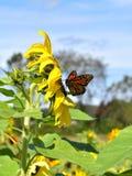 Monarkfjäril i gul solros på nedgångdag i Littleton, Massachusetts, Middlesex County, Förenta staterna New England nedgång royaltyfria foton