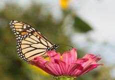 Monarkfjäril, i sommarträdgård arkivbilder