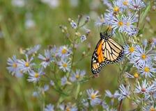 Monarkfjäril med purpura blommor Royaltyfri Fotografi