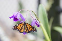 Monarkfjäril och lilaorkidé Royaltyfri Foto