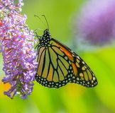 Monarkfjäril på blomma fotografering för bildbyråer