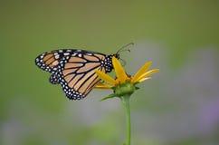 Monarkfjäril på blomma Arkivbild