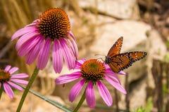 Monarkfjäril på blomman Arkivfoto