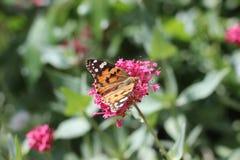 Monarkfjäril på blomman i botanisk trädgård i Baku Azerbaijan royaltyfri fotografi