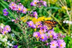 Monarkfjäril på de magentafärgade asterna arkivfoto