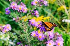Monarkfjäril på de magentafärgade asterna fotografering för bildbyråer