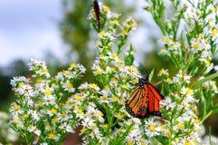 Monarkfjäril på de vita asterna arkivfoto