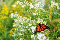Monarkfjäril på de vita asterna royaltyfri fotografi