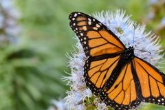 Monarkfjäril på den purpurfärgade blomman för echium royaltyfri fotografi