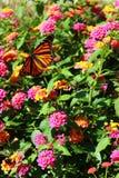 Monarkfjäril på en blomma fotografering för bildbyråer