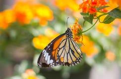 Monarkfjäril på en blomma arkivfoton