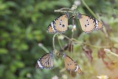 Monarkfjäril på en tropisk växt Fotografering för Bildbyråer