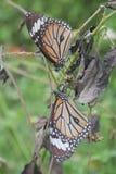 Monarkfjäril på en tropisk växt Arkivbild