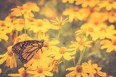 Monarkfjäril på guld- blommor Fotografering för Bildbyråer