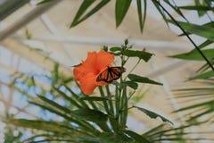 Monarkfjäril på orange hibiskus Arkivbild