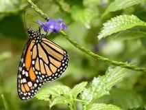 Monarkfjäril på purpurfärgade blommor royaltyfria foton