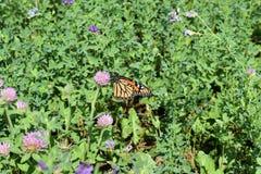 Monarkfjäril på röd växt av släktet Trifolium i en äng arkivbilder