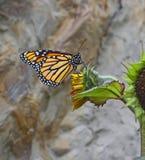 Monarkfjäril på solrosen Royaltyfria Foton