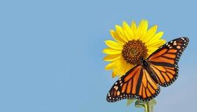Monarkfjäril på solrosen mot den blåa skyen Arkivbilder