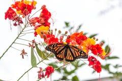 Monarkfjäril på stolthet av den Barbados blomman Royaltyfri Foto