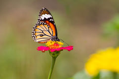 Monarkfjäril på zinniablomman arkivfoto