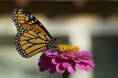 Monarkfjäril som dricker på en rosa Zinnia Royaltyfri Bild
