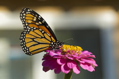 Monarkfjäril som dricker på en rosa Zinnia Royaltyfria Bilder