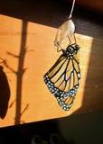 Monarkfjäril som kläckas från puppa royaltyfri foto