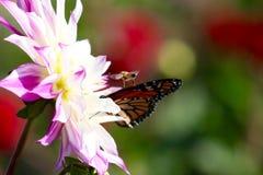 Monarkfjäril som matar på en rosa dahliavildblomma Arkivfoton