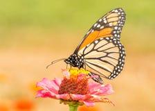 Monarkfjäril som pollinerar en Zinniablomma royaltyfri foto