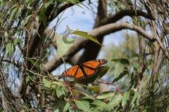 Monarkfjäril som redigeras genom att använda effekt för kamera för fisköga arkivbild