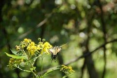 Monarkfjäril som sätta sig på gula blommor - svår körningsslinga, VA Royaltyfria Bilder