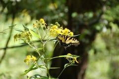 Monarkfjäril som sätta sig på gula blommor - svår körningsslinga, VA Arkivbild