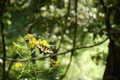 Monarkfjäril som sätta sig på gula blommor - svår körningsslinga, VA Royaltyfri Foto