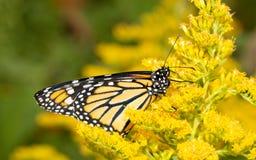 Monarkfjäril som vilar på en gul Goldenrod blomma royaltyfria bilder