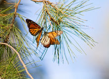 Monarkfjärilar Arkivfoton