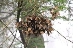 Monarkfjärilar Arkivbild