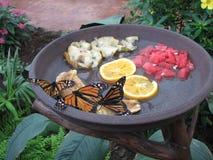 Monarkfjärilar Arkivfoto