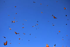 Monarkfjärilar, Michoacan, Mexico Arkivfoton
