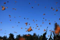 Monarkfjärilar, Michoacan, Mexico Arkivbild