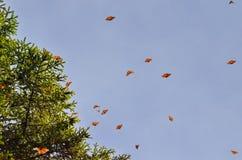 Monarkfjärilar, Michoacan, Mexico Arkivbilder