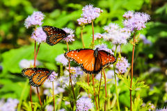 Monarkfjärilar på purpurfärgade blommor Arkivfoton